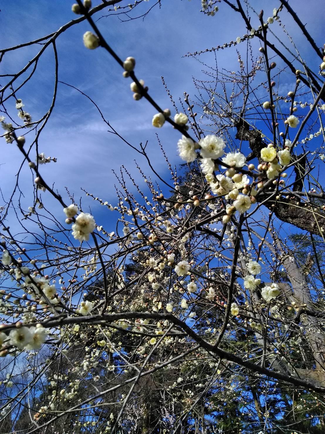 2019年の梅(京都府立植物園にて)